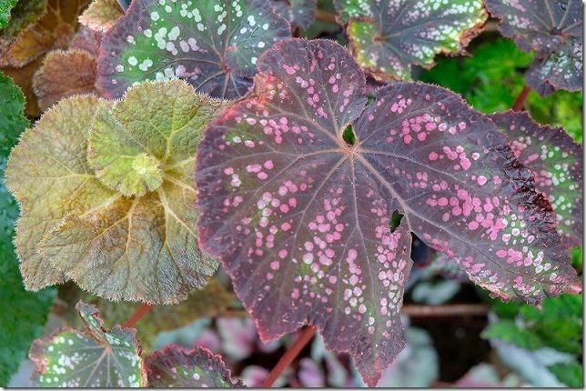 ポンポコ村ベゴニアガーデン、ベコニアの葉っぱは左右非対称