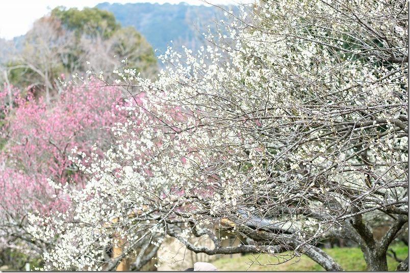 坂本八幡に隣接している大宰府政庁跡の梅が開花
