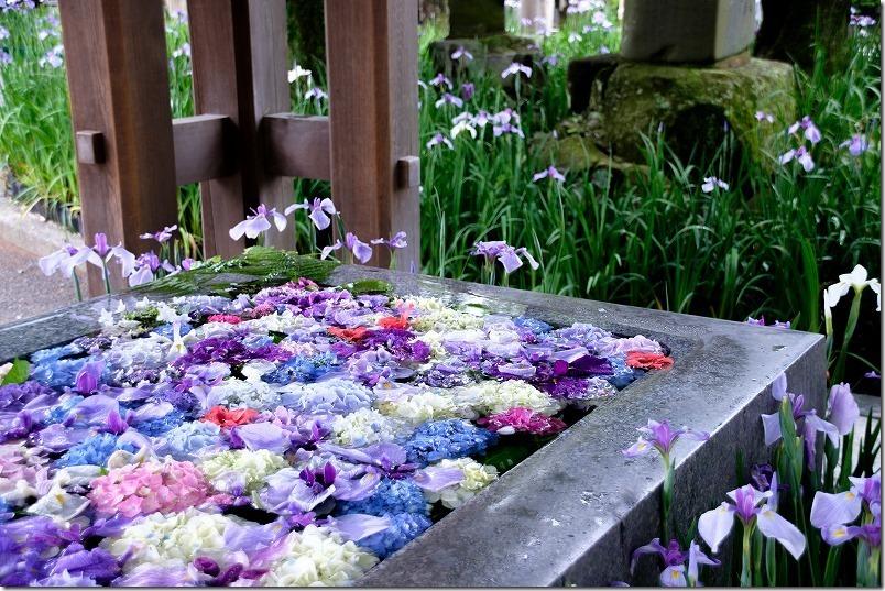 宮地嶽神社の手水舎(紫陽花の水鉢)