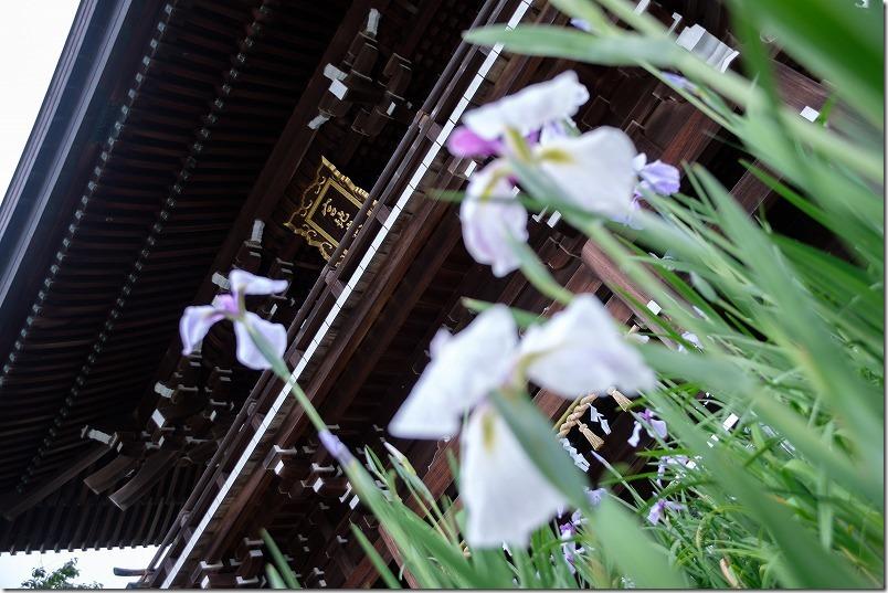 宮地嶽神社の門前の花菖蒲