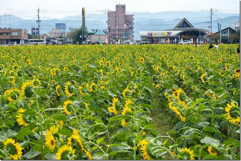 道の駅「原鶴」の「ひまわり畑」が見頃、10月上旬