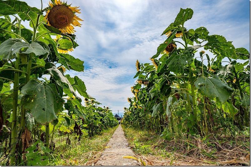 道の駅「原鶴」の「ひまわり畑」を散策