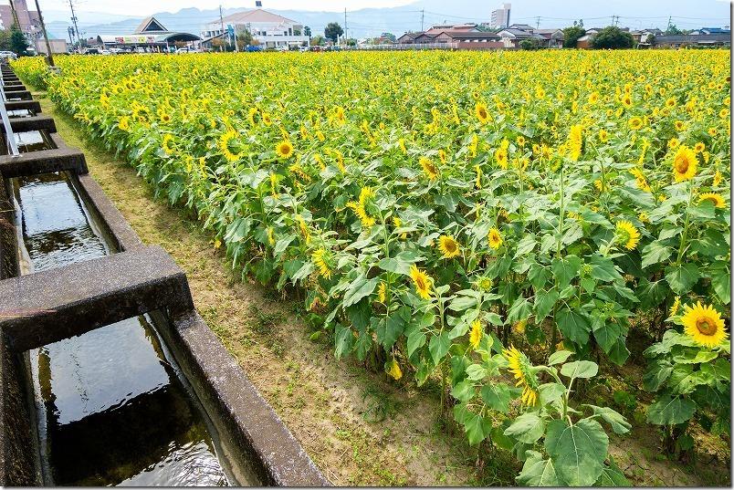 道の駅「原鶴」の広大な「ひまわり畑」