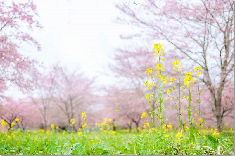 長湯温泉、枝垂れ桜の里の桜と菜の花