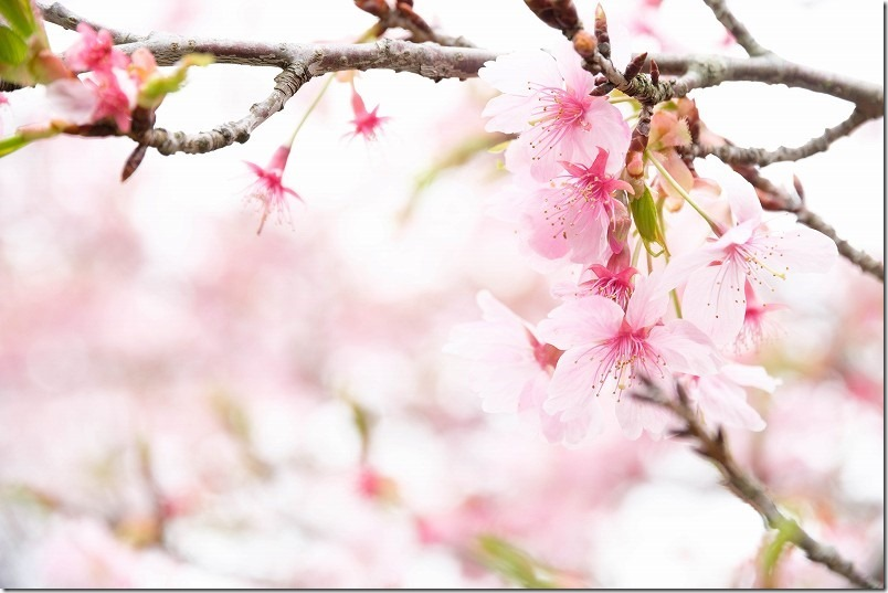 長湯温泉、枝垂れ桜の里の桜の種類