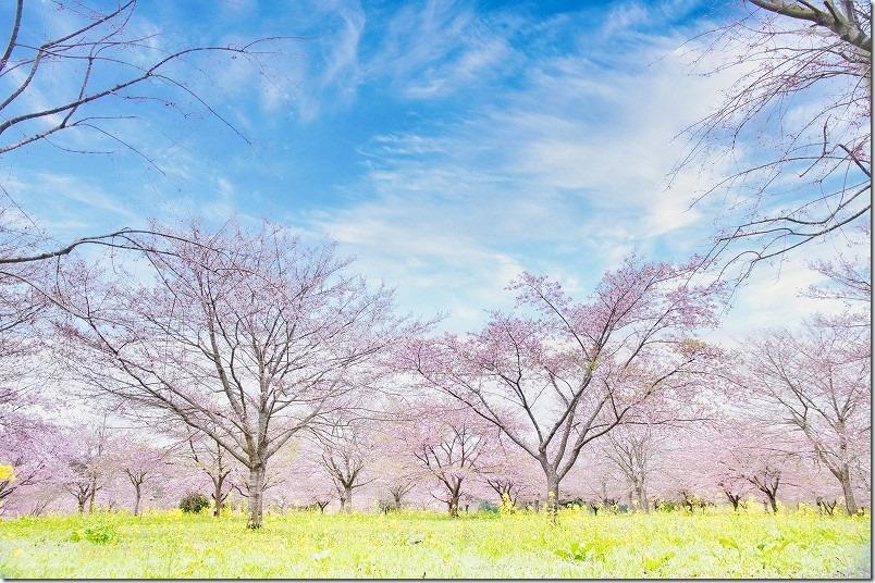長湯温泉、枝垂れ桜の里の菜の花と桜