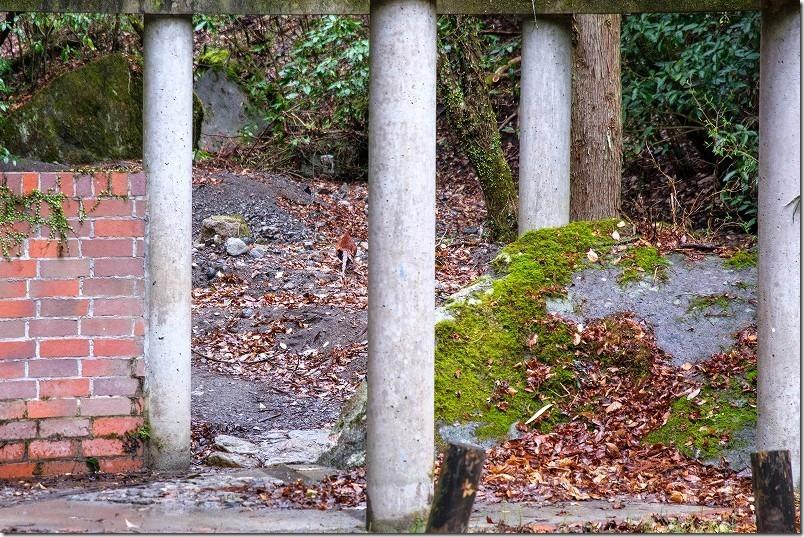 長湯・清滝の駐車場でキジ