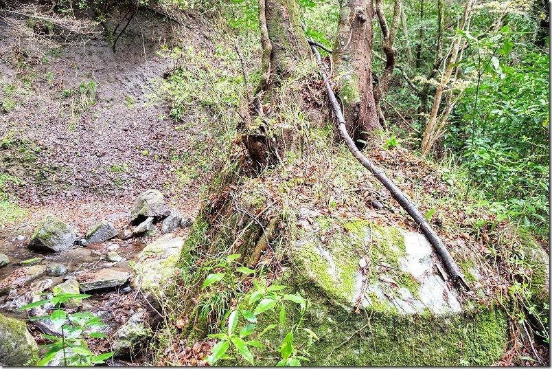 長湯・清滝への遊歩道で岩の上に木