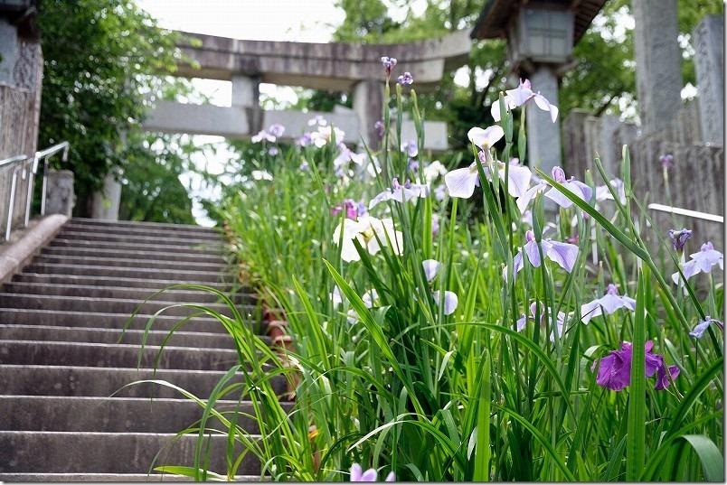 宮地嶽神社、参道の菖蒲