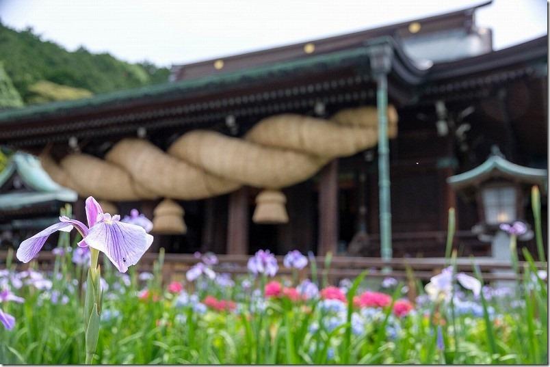 宮地嶽神社、境内の菖蒲、紫陽花