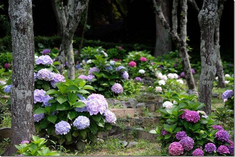 宮地嶽神社の紫陽花