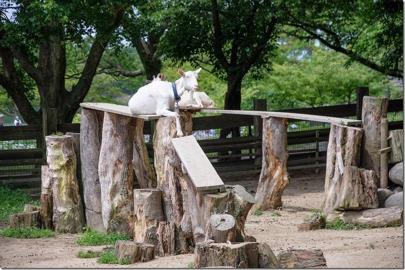 宮地嶽神社の動物園、宮ZOOのヤギ